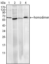 Figure 1: Western blot analysis using Pirh2 mouse mAb against Hela (1), A549 (2), MCF-7 (3) and PC-12 (4) cell lysate.