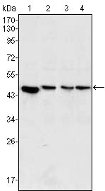Figure 1: Western blot analysis using MAP2K2 mouse mAb against PC-12 (1), Jurkat (2), Hela (3) and NIH/3T3 (4) cell lysate.