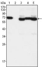 Figure 1: Western blot analysis using TCF3 mouse mAb against A549 (1), A431 (2), Hela (3), PANC-1 (4) and PC-3 (5) cell lysate.