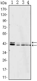Figure 1: Western blot analysis using p44/42 MAPK mouse mAb against Jurkat (1), Hela (2), A431 (3) and NIH/3T3 (4) cell lysate.