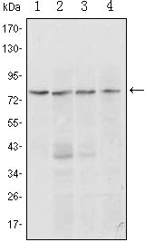 Figure 1: Western blot analysis using PRDM1 mouse mAb against Raji (1, 2), L1210 (3) and TPH-1 (4) cell lysate.