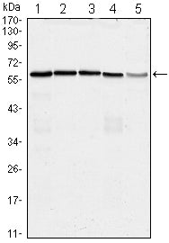 Figure 1: Western blot analysis using anti-CDC25C mAb against Hela (1), K562 (2), PC-3 (3), HEK293 (4) and Raw264.7 (5) cell lysate.