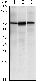 Figure 1: Western blot analysis using HSPA5 mouse mAb against NIH/3T3 (1), Hela (2) and Jurkat (3) cell lysate.