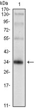 Figure 1: Western blot analysis using SYP mouse mAb against rat brain tissue lysate.