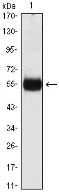 Figure 1: Western blot analysis using CDKN1B mAb against CDKN1B(AA: 1-198)-hIgGFc transfected HEK293 cell lysate.