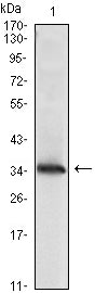 Figure 1: Western blot analysis using NME1 mAb against NME1(AA: 27-177)-hIgGFc transfected HEK293 cell lysate.
