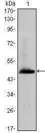 Figure 1: Western blot analysis using HAS1 mAb against human HAS1 (AA: 74-243) recombinant protein. (Expected MW is 44.4 kDa)