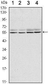 Figure 1: Western blot analysis using SMAD6 mouse mAb against A431 (1), A431 (2), Hela (3) and Jurkat (4) cell lysate.