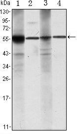 Figure 1: Western blot analysis using ALDH1A1 mouse mAb against Raji (1), Jurkat (2), THP-1 (3) and K562 (4) cell lysate.