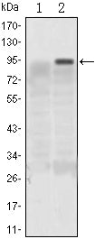 Figure 1: Western blot analysis using KLF4 mAb against HEK293 (1) and KLF4(AA: 2-180)-hIgGFc transfected HEK293 (2) cell lysate.