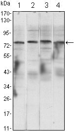 Figure 1: Western blot analysis using CHUK mouse mAb against Raji (1), Jurkat (2), THP-1 (3) and K562 (4) cell lysate.