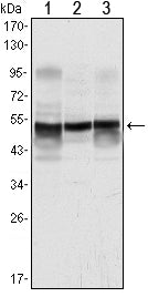 Figure 1: Western blot analysis using GFAP mouse mAb against A431 (1), SK-N-SH (2) and PC12 (3) cell lysate.