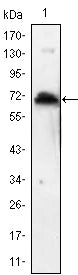 Figure 1: Western blot analysis using KLHL1 mAb against human KLHL1 (AA: 202-506) recombinant protein. (Expected MW is 60.2 kDa)
