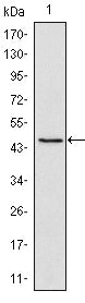 Figure 1: Western blot analysis using Oct4 mouse mAb against NTERA-2 cell lysate (1).
