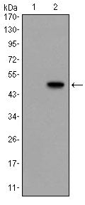 Figure 1: Western blot analysis using GCG mAb against HEK293 (1) and GCG(AA: 1-180)-hIgGFc transfected HEK293 (2) cell lysate.