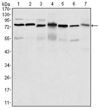Figure 1: Western blot analysis using PSIP1 mouse mAb against HepG2 (1), Jurkat (2), K562 (3), Cos7 (4), PC-12 (5), Hela (6), and NIH/3T3 (7) cell lysate.
