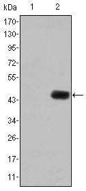 Figure 1: Western blot analysis using CEA mAb against HEK293 (1) and CEA(AA: 460-600)-hIgGFc transfected HEK293 (2) cell lysate.
