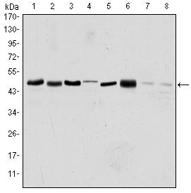 Figure 1: Western blot analysis using AURKA mouse mAb against HEK293 (1), Sw620 (2), MCF-7 (3), Jurkat (4), Hela (5), HepG2 (6), Cos7 (7) and PC-12 (8) cell lysate.