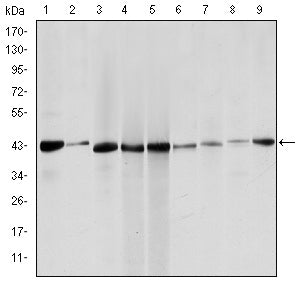 Figure 1: Western blot analysis using ACTA2 mouse mAb against Hela (1), Jurkta (2), HepG2 (3), MCF-7 (4), A431 (5), A549 (6), PC-12 (7), NIH/3T3 (8) and Cos7 (9) cell lysate.