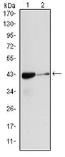 Figure 1: Western blot analysis using ACTA2 mouse mAb against Hela (1), and Cos7 (2) cell lysate.