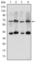 Figure 1: Western blot analysis using CRTC3 mouse mAb against Hela (1), Jurkat (2), Cos7 (3) and MCF-7 (4) cell lysate.