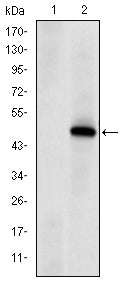 Figure 1: Western blot analysis using PRKDC mAb against HEK293 (1) and PRKDC(AA: 2638-2971)-hIgGFc transfected HEK293 (2) cell lysate.