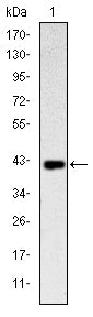 Figure 1: Western blot analysis using CD94 mAb against human CD94 (AA: 32-179) recombinant protein. (Expected MW is 42.6 kDa)