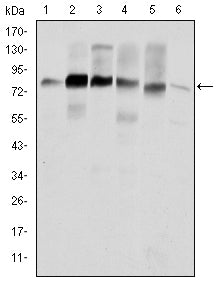 Figure 1: Western blot analysis using CTTN mouse mAb against Hela (1), A431 (2), MCF-7 (3), SR-BR-3 (4), HepG2 (5) and NIH/3T3 (6) cell lysate.