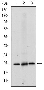 Figure 1: Western blot analysis using EIF4E mouse mAb against Hela (1), HEK293 (2) and K562 (3) cell lysate.