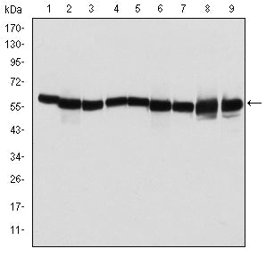 Figure 1: Western blot analysis using HSP60 mouse mAb against T47D (1), Hela (2), HepG2 (3), A549 (4), Jurkat (5), HEK293 (6), NIH/3T3 (7), PC-12 (8) and Cos7 (9) cell lysate.