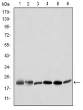 Figure 1: Western blot analysis using BID mouse mAb against Hela (1), A431 (2), Jurkat (3), A549 (4), HepG2 (5), and HEK293 (6) cell lysate.