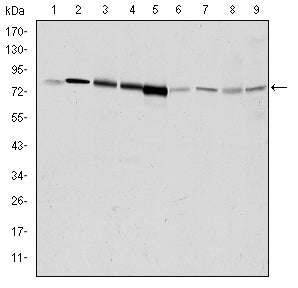 Figure 1: Western blot analysis using GRK2 mouse mAb against Hela (1), Jurkat (2), MOLT4 (3), RAJI (4), THP-1 (5), L1210 (6), Cos7 (7), PC-12 (8), and NIH/3T3 (9) cell lysate.