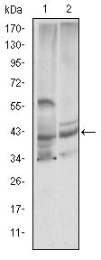 Figure 1: Western blot analysis using CST3 mouse mAb against Hela (1) and Caco-2 (2) cell lysate.