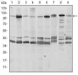 Figure 1: Western blot analysis using FUK mouse mAb against Hela (1), HepG2 (2), Jurkat (3), A431 (4), HEK293 (5), MCF-7 (6), PC-12 (7), Cos7 (8), and NIH/3T3 (9) cell lysate.