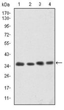 Figure 1: Western blot analysis using CDK5 mouse mAb against Hela (1), K562 (2), PC-12 (3) and Cos7 (4) cell lysate.