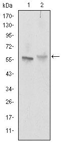 Figure 1: Western blot analysis using ABCG2 mouse mAb against NIH/3T3 (1) and Cos7 (2) cell lysate.