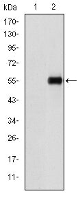 Figure 1: Western blot analysis using CD105 mAb against HEK293 (1) and CD105(AA: 331-567)-hIgGFc transfected HEK293 (2) cell lysate.