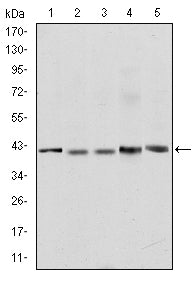Figure 1: Western blot analysis using c-Rel mouse mAb against Jurkat (1), NIH/3T3 (2), Hela (3), HEK293 (4) and RAJI (5) cell lysate.