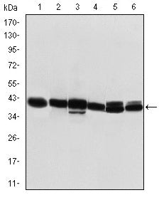Figure 1: Western blot analysis using KRT19 mouse mAb against T47D (1), MCF-7 (2), SKBR-3 (3), HepG2 (4), Caco-2 (5) and SW620 (6) cell lysate.