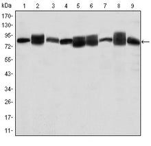 Figure 1: Western blot analysis using HSP90AB1 mouse mAb against Jurkat (1), A431 (2), Hela (3), A549 (4), HEK293 (5), K562 (6), NIH/3T3 (7), PC-12 (8) and Cos7 (9) cell lysate.