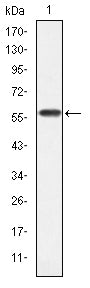 Figure 1: Western blot analysis using CRKL mAb against human CRKL (AA: 100-303) recombinant protein. (Expected MW is 60 kDa)