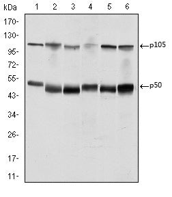 Figure 1: Western blot analysis using NFKB1 mouse mAb against K562 (1), Jurkat (2), A431 (3), Hela (4), THP-1 (5) and MCF-7 (6) cell lysate.