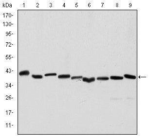 Figure 1: Western blot analysis using ACTA2 mouse mAb against Hela (1), A431 (2), Jurkat (3), K562 (4), HEK293 (5), HepG2 (6), NIH/3T3 (7), PC-12 (8) and Cos7 (9) cell lysate.