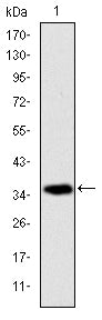 Figure 1: Western blot analysis using AIF mAb against human AIF (AA: 1-261) recombinant protein. (Expected MW is 35.6 kDa)