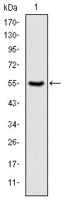 Figure 1: Western blot analysis using PRK2 mAb against human PRK2 (AA: 555-718) recombinant protein. (Expected MW is 43.9 kDa)