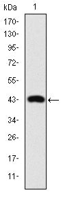 Figure 1: Western blot analysis using c-Jun mAb against human c-Jun (AA: 199-331) recombinant protein.