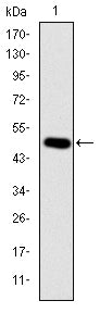 Figure 1: Western blot analysis using CRK mAb against human CRK (AA: 1-204) recombinant protein. (Expected MW is 48.4 kDa)