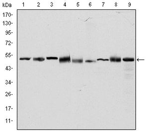 Mouse Monoclonal Antibody to CCT2