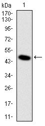Figure 1: Western blot analysis using DLK1 mAb against human DLK1 (AA: 174-349) recombinant protein. (Expected MW is 44.9 kDa)