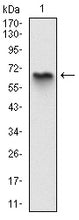 Figure 1: Western blot analysis using MBP mAb against human MBP (AA: 1-197) recombinant protein. (Expected MW is 47 kDa)